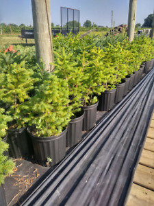 Spruce trees and blackberry plants
