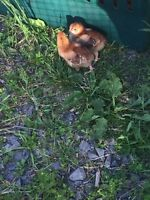 Young Rhode Island Red roosters for sale