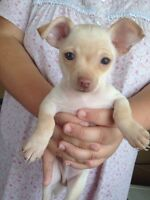 Beautiful teacup Chihuahua puppies