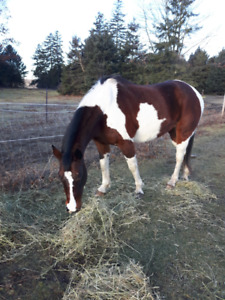 Reg American Paint Mare SOLD