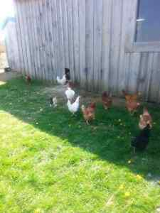 Young laying hens!
