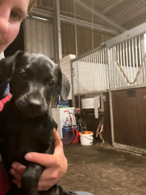 Patterdale terriers home bred