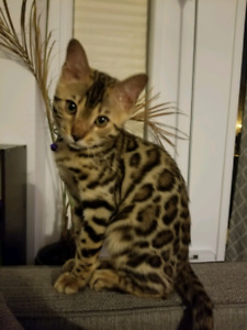 Bengal for sale - 4 month male - $800