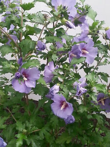 Mint ... perennial plant ... stems or plants ... Other Plants .. Cambridge Kitchener Area image 2