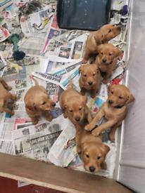 Fox red labrador pup's. Waiting list open