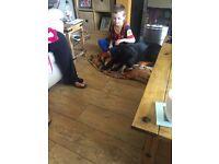 Springer spaniel x male pup