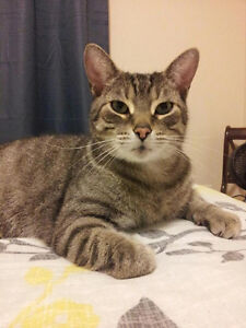 Scrappy - Lost Male Cat - Grey Tabby with White Shorthair London Ontario image 1