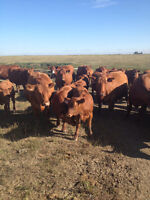 Quality Young Bred Cows for Sale