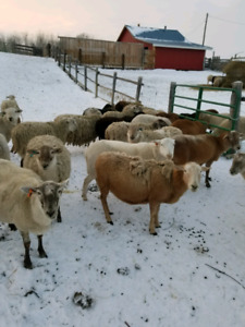 Katahdin ewes for sale