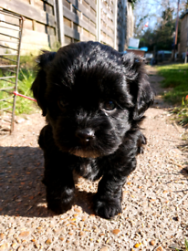 Beautiful Shihpoo - Shihtzu x mini Poodle puppies