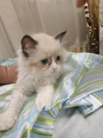 Ragdoll Kitten Male, The Most Beautiful Of Alll Litters