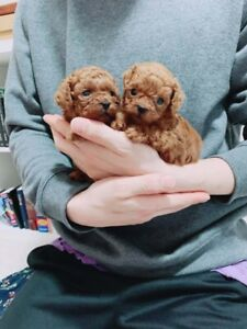 Teacup size hypoallergenic red poodles