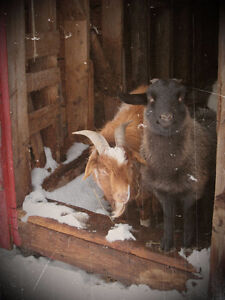 Recycle your Xmas trees the Goat Way!