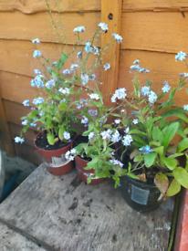 Forget me not plants - 50p per pot (5 pots for £2)