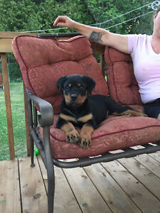 Rottweiler female puppy for sale