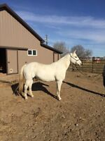 Ranch horse for sale