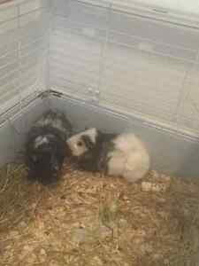 2 guinea pigs and large cage with all accessories