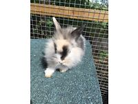 Mini lop for sale