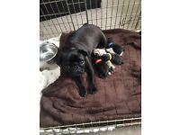 Beautiful black pug puppy bitch (kc reg , silver carrier)