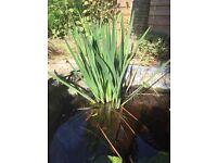 Established Large Pond Plants x3 - reduced price