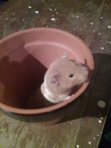 6 month teddy bear Hamster and accessories