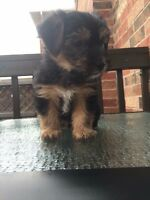 Tiny Toy Yorkshire Terrier Puppy