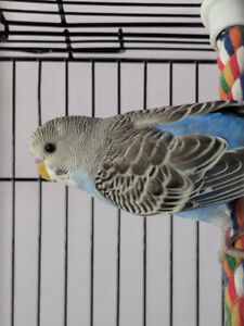 Young male budgie with recessive opaline gene!