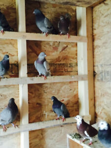 Variety of nice pigeons for sale   $20  each