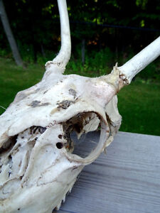 ANTELOPE SKULL with TEETH man cave cottage SCIENCE Art Deco Cambridge Kitchener Area image 3