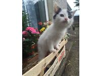 Black and white kitten free to good home