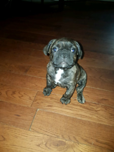 The CUTEST French Bulldog puppies EVER! 1 male available