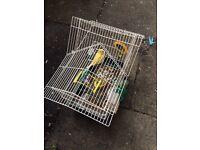 Singing canari bird for sale
