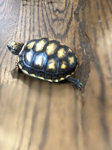 Redfoot Tortoise Hatchlings for Sale!  Only FOUR left!