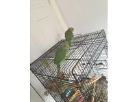 Beautiful baby parrot for sale will talk