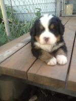 Ckc registered Bernese pups