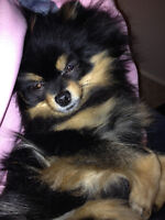 Pom in need of a new home