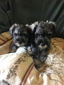 TWO MALES ADORABLE SWEET PURE BREED MINI SCHNAUZER