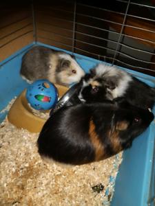 Three guinea pigs to good home