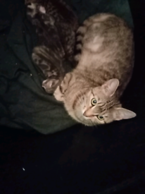 Ex bengal kittens