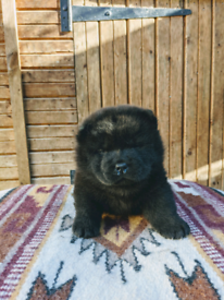 Black Female Chow Chow Puppy For Sale