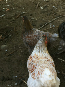 Blue laced red wyandotte breeding groups