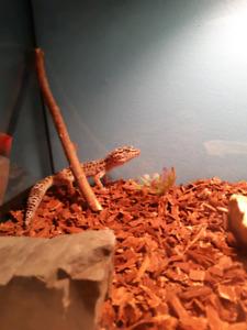 Gecko et Vivarium