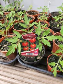 Tomato Plants Gardeners Delight