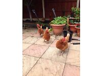 5 laying rhode island hens for sale!