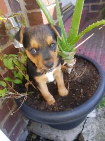 Jack Russell x Lakeland terrier puppies