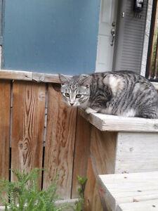FOUND - Grey tabby cat in West Broadway