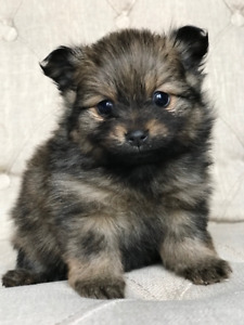 •ADORABLE Pure Breed Pomeranian Puppies•