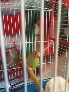 Budgie bird with cage