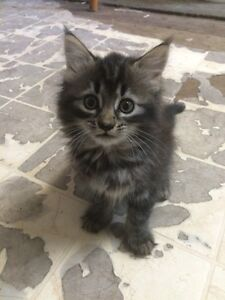 *ADOPTED* Female Kitten Looking for Forever Home