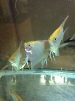 Gold angelfish and other fish